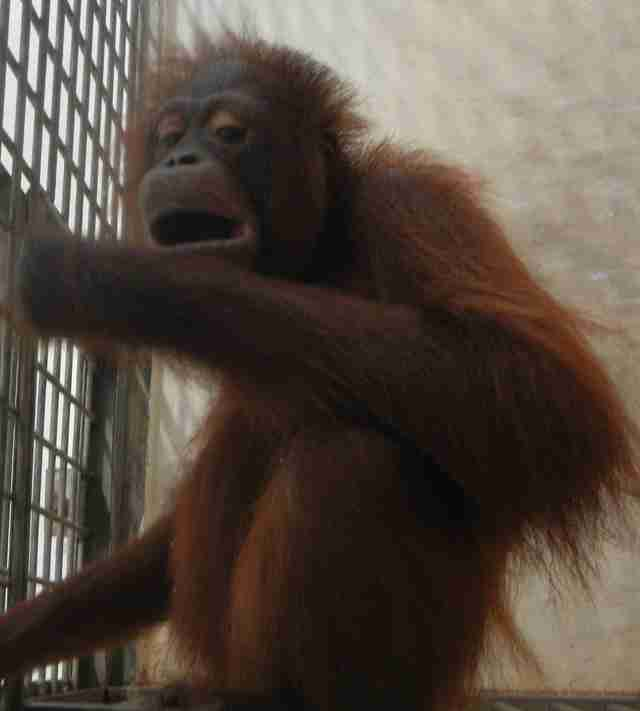 Orangutan kept in cage in Borneo