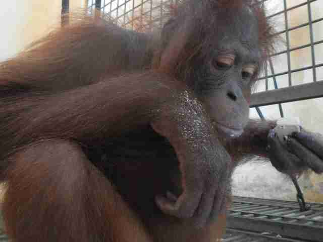 Rescued orangutan recovering