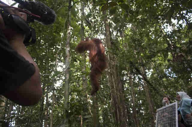 Orangutan being released to the wild