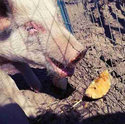 Rescue piglet eating