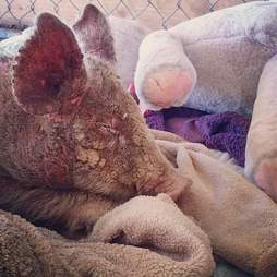 Sick piglet resting