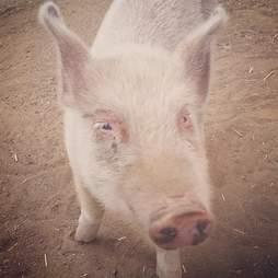 Rescued piglet at sanctuary