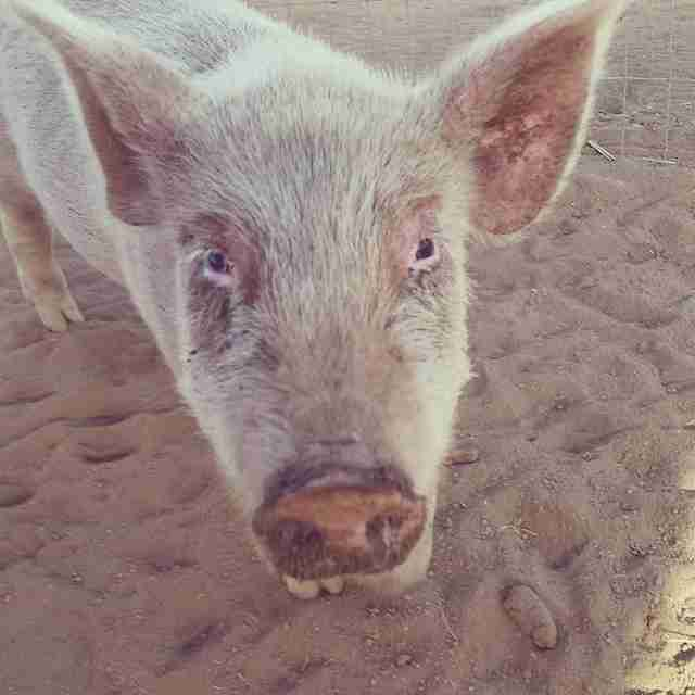 Rescued piglet at sanctuary