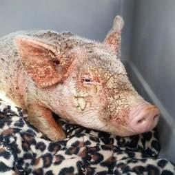 Piglet with severe mange