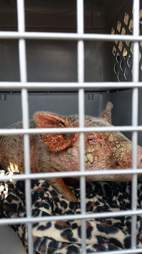 Pig with mange in cage