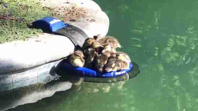 Newly hatched ducklings using FrogLog as a place to rest