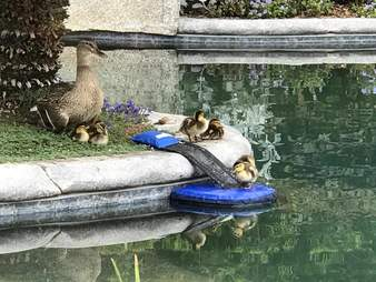 Ducklings resting on FrogLog