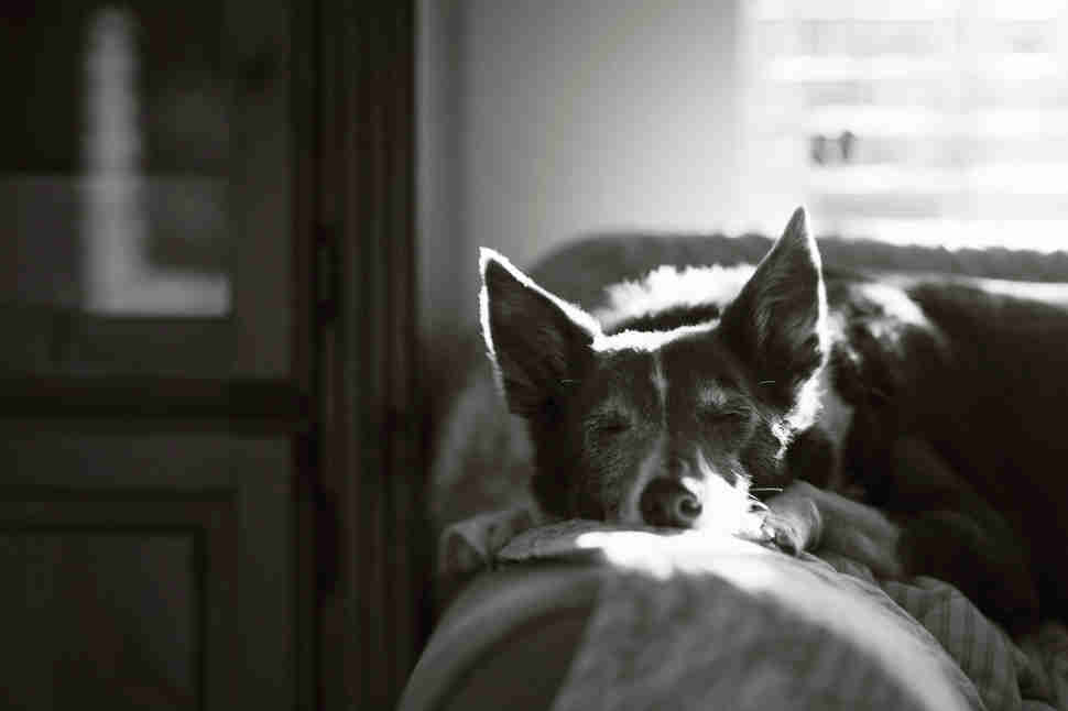 DPOTY Oldies 1st © John Liot The Kennel Club