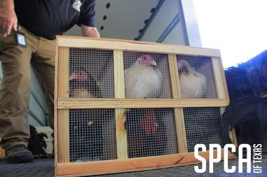 Fighting roosters in transport cages