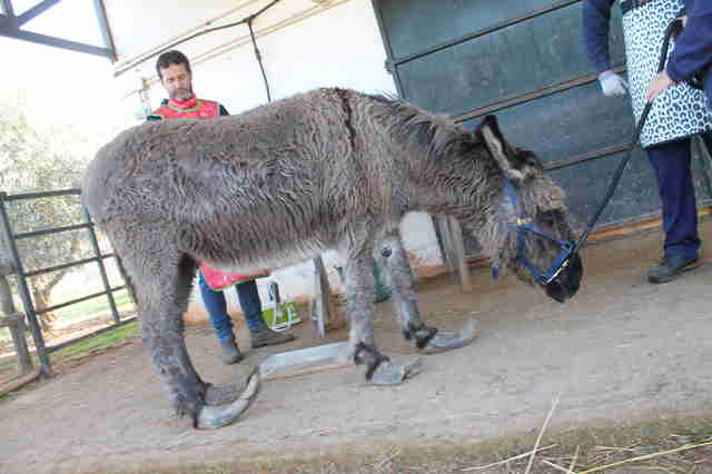 Donkey with overgrown hooves