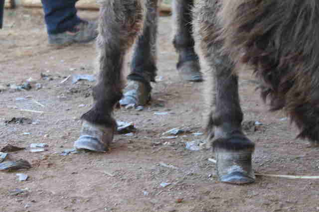 Neglected donkey with hooves trimmed