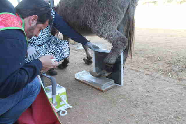 Neglected donkey getting hooves trimmed