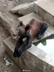 Starving brown bear in Chinese zoo
