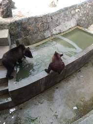 Starving bear at Chinese zoo