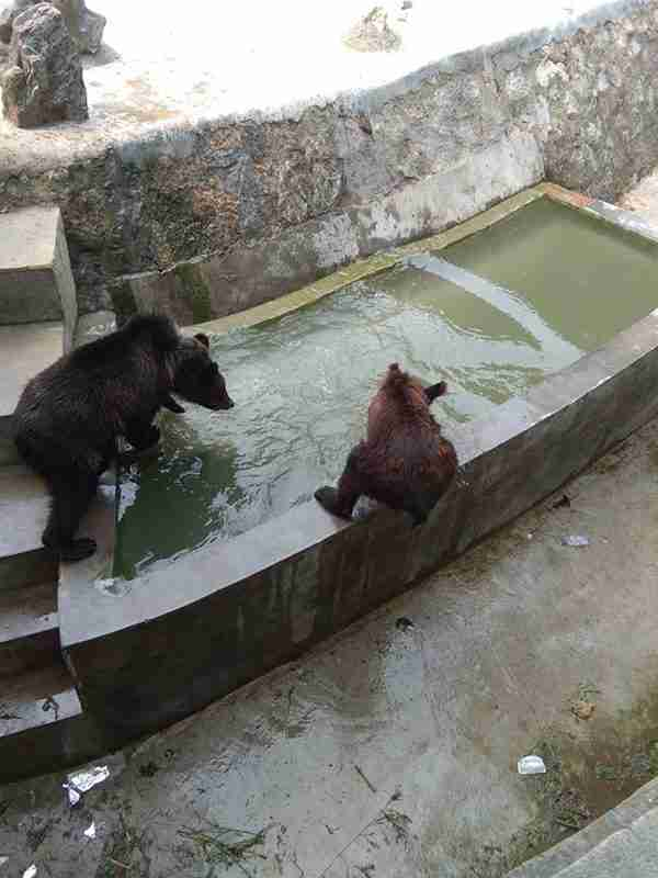 Starving bear at Chinese zoo