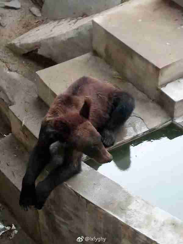 Starving brown bear at Chinese zoo