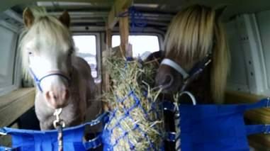 Mini therapy horses