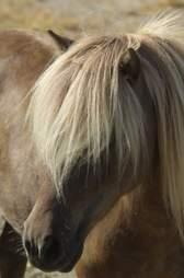 Mini therapy horse