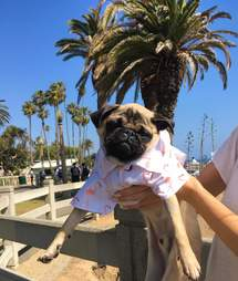 Rescued pug from Iran in LA