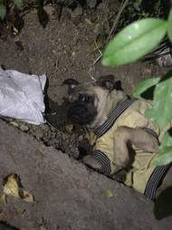 Injured pug abandoned in ditch