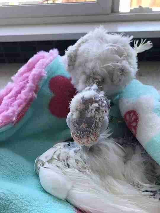 Rescued bird mourns friend