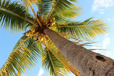 Coconut Tree | Captain Morgan LocoNut | Supercall