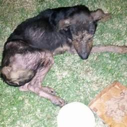 Paralyzed stray dog in field