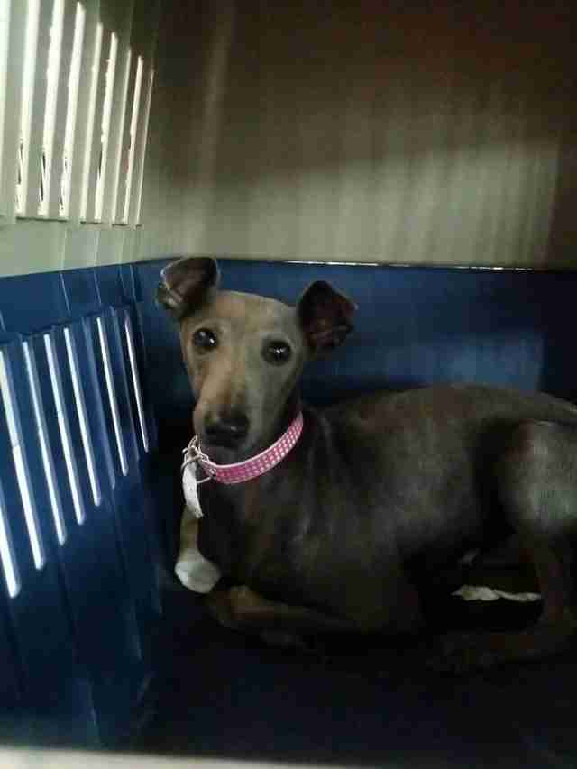 Greyhound in transport kennel