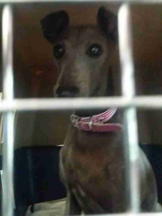 Greyhound inside kennel