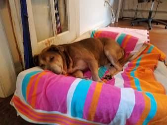 Senior shelter dog in her first dog bed