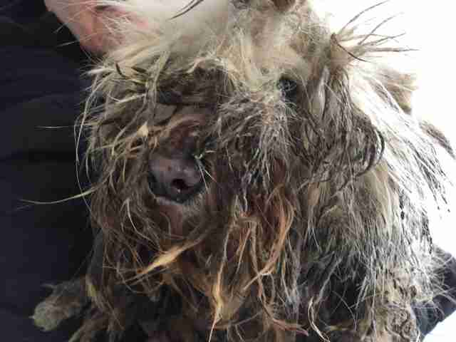 Matted dog rescued from dog meat farm