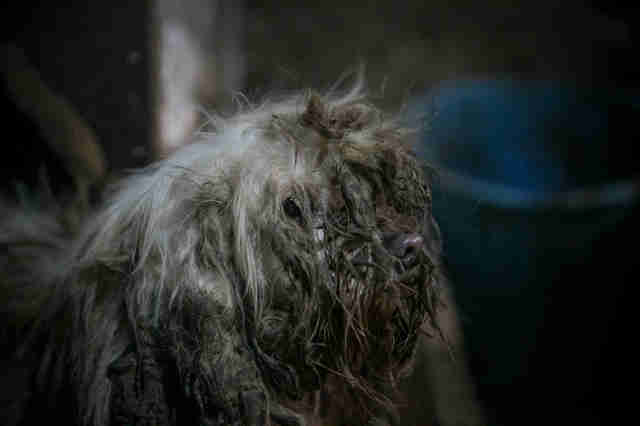 Matted dog at dog meat farm