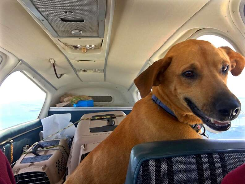 Rescued shelter dogs in airplane