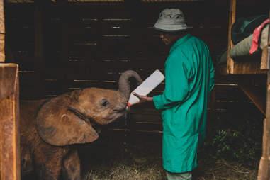 Orphaned baby elephant bottlefeeding