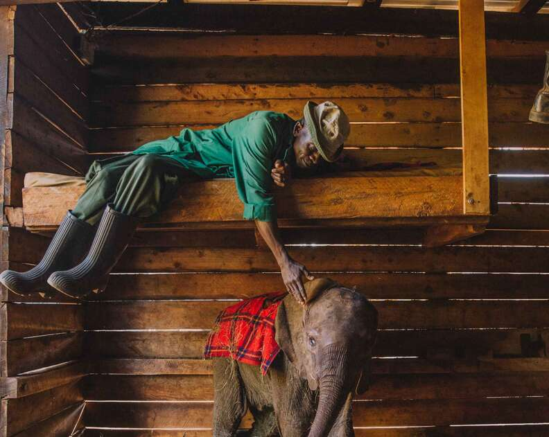 Baby elephant and caretaker