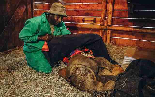 Orphaned baby elephant getting tucked in