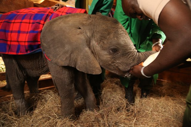 Orphaned elephant being bottlefed