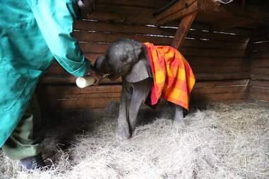 Elephant getting fed at Kenya orphanage
