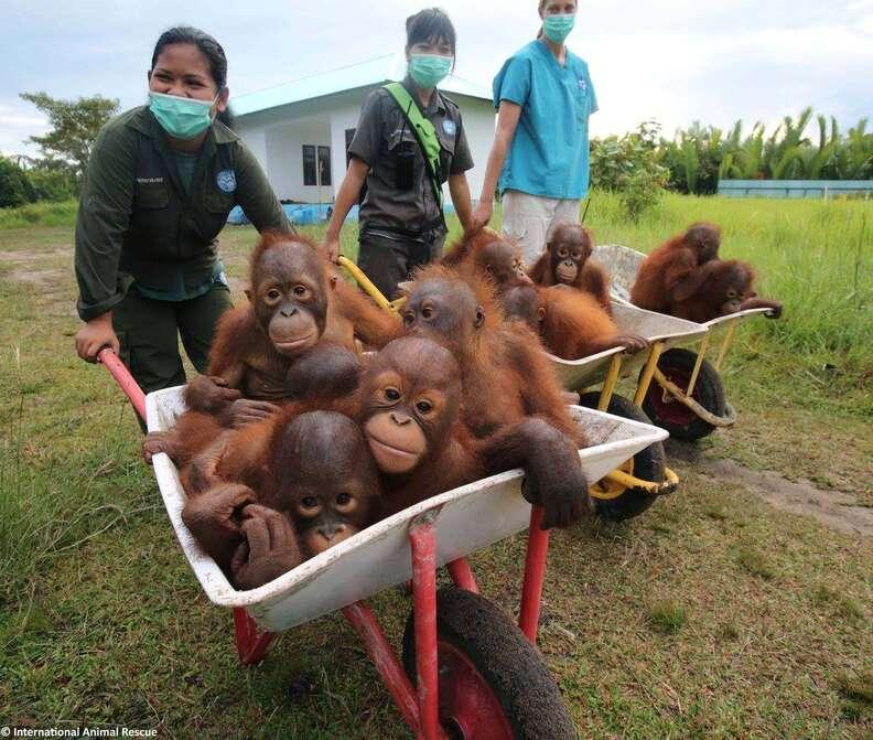 Baby orangutans in wheelbarrow at rescue center