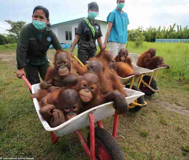 Baby orangutans in wheelbarrow at rescue center