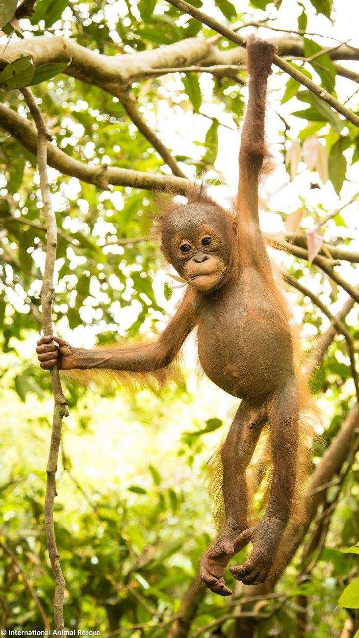 Baby rescued orangutan hanging in tree