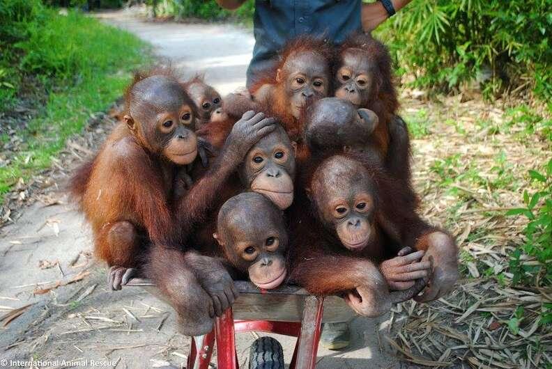 Rescued baby orangutans in wheelbarrow