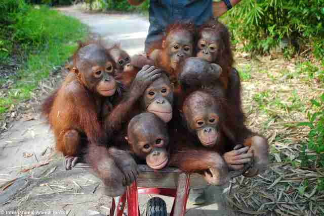 Rescued baby orangutans in wheelbarrow