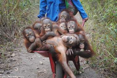 Baby rescued orangutans