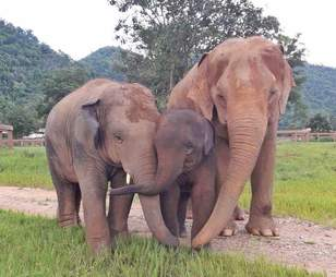 rescued elephants thailand