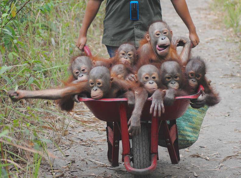 Rescued baby orangutans