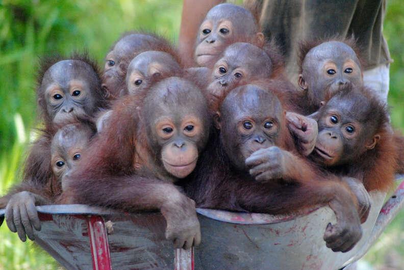 Rescued orangutan babies