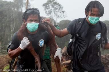 Man saving orangutan