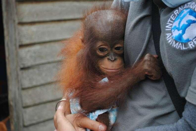 Baby orangutan found on palm oil plantation