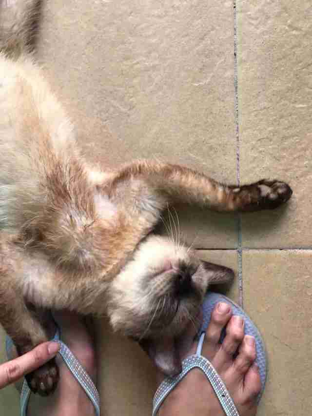 Siamese cat lying at rescuer's feet